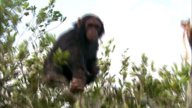 vídeos y material grabado en eventos de stock de a chimpanzee stands in a leafy tree. - chimpancé