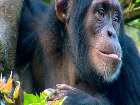vídeos y material grabado en eventos de stock de cu chimpanzee stripping bark from end of branch - chimpancé común