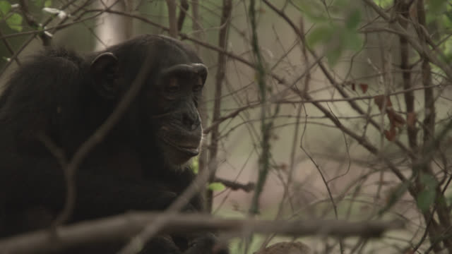Chimpanzee (Pan troglodytes) termite fishing in forest, Senegal