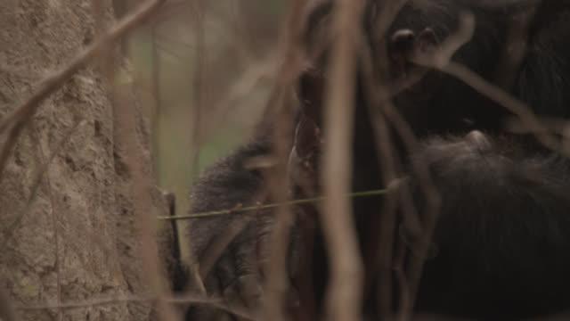 chimpanzee (pan troglodytes) termite fishing in forest, senegal - chimpanzee stock videos & royalty-free footage