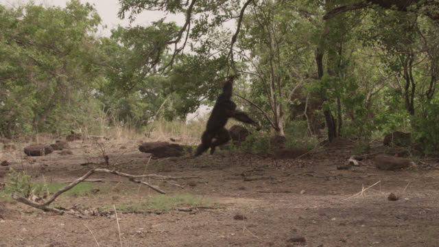 Chimpanzee (Pan troglodytes) thrashes branches in forest, Senegal