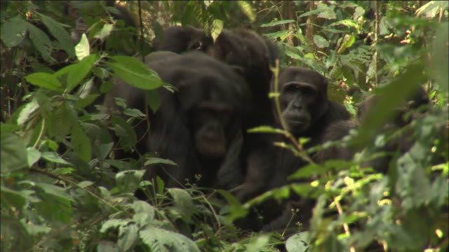 chimpanzee troop in forest, kibale, uganda - chimpanzee stock videos & royalty-free footage