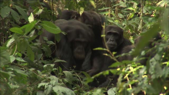 vidéos et rushes de chimpanzee troop in forest, kibale, uganda - chimpanzé