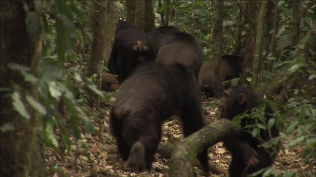 chimpanzee troop in forest, kibale, uganda - common chimpanzee stock videos & royalty-free footage