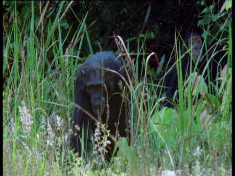 vídeos y material grabado en eventos de stock de chimpanzee troop leaves forest and walks past camera, gombe national park, tanzania - parque nacional de gombe stream
