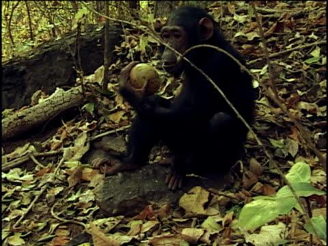 vídeos y material grabado en eventos de stock de ms, chimpanzee (pan troglodytes) trying to crack fruit, gombe stream national park, tanzania - chimpancé común