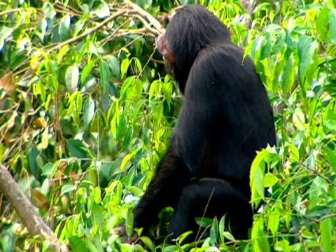 Chimpanzee (Pan troglodytes) up in tree, making nest out of surrounding branches, Sierra Leone