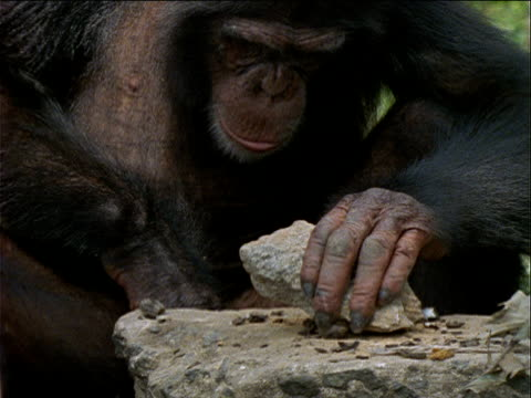 vídeos de stock, filmes e b-roll de cu, zo, chimpanzee using rock to open palm nuts, gombe national park, tanzania  - parte do corpo animal