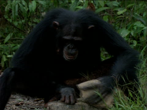 vidéos et rushes de ms, pan, chimpanzee using rock to open palm nuts, gombe national park, tanzania  - chimpanzé