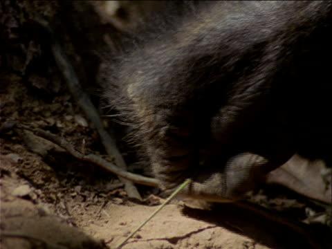 vidéos et rushes de cu, tu, chimpanzee using twig to catch termites, gombe national park, tanzania  - chimpanzé