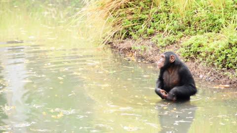 scimpanzé - intelligence video stock e b–roll