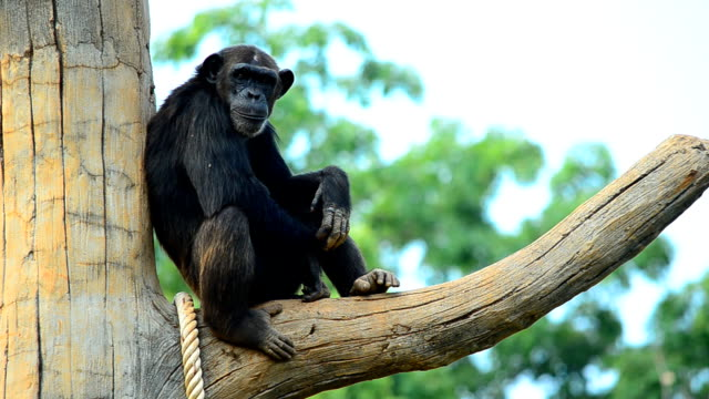 stockvideo's en b-roll-footage met chimpanzee - dierentuin