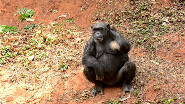 chimpanzee - chimpanzee stock videos & royalty-free footage