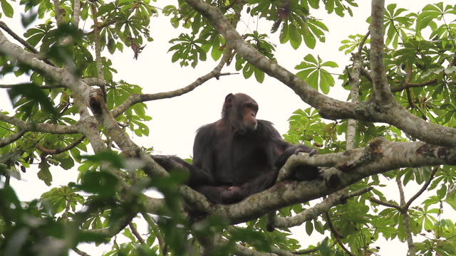 chimpanzee (pan troglodytes) - primate stock videos & royalty-free footage