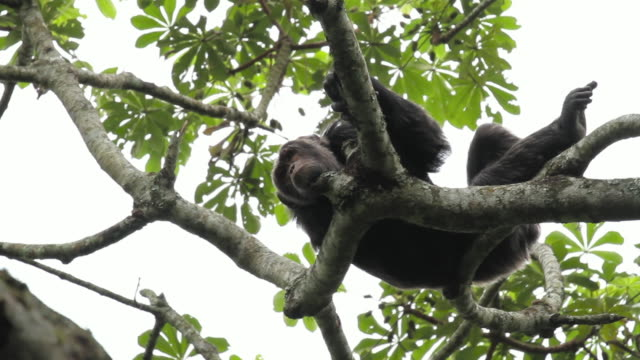 chimpanzee (pan troglodytes) - national park stock videos & royalty-free footage