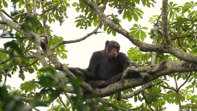 chimpanzee (pan troglodytes) - primate stock videos and b-roll footage