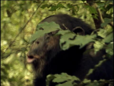 vídeos y material grabado en eventos de stock de cu, ms, chimpanzee (pan troglodytes) vocalizing and running in forest, (drum display), gombe stream national park, tanzania - parque nacional de gombe stream