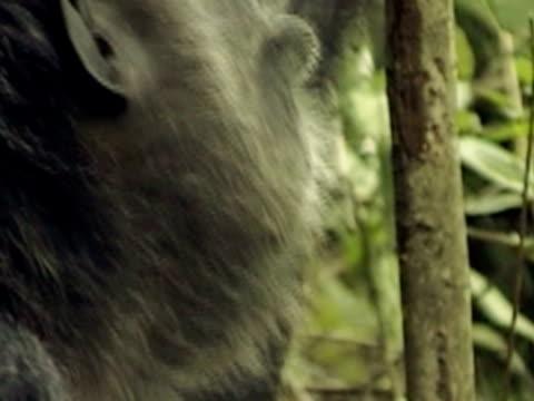 cu, tu, chimpanzee (pan troglodytes) vocalizing in forest, gombe stream national park, tanzania - common chimpanzee stock videos & royalty-free footage