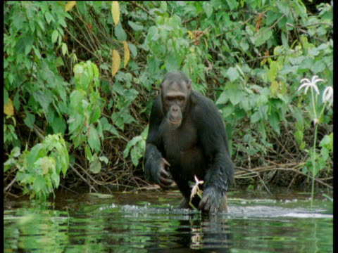 Chimpanzee wades through shallow water standing upright, and picks flower, Congo