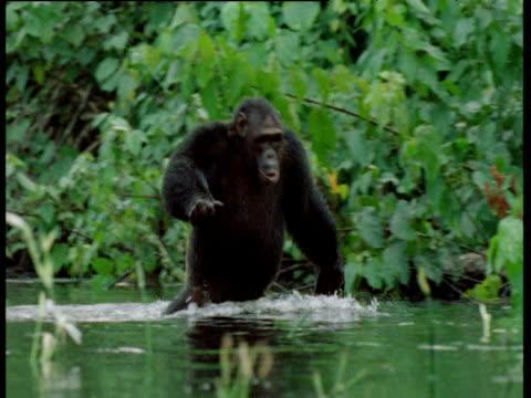 chimpanzee wades through shallow water, standing upright, congo - menschliche gliedmaßen stock-videos und b-roll-filmmaterial