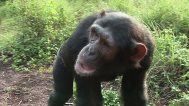CU Chimpanzee walking in forest / Ngamba Chimp Sanctuary, Ngamba Island, Uganda