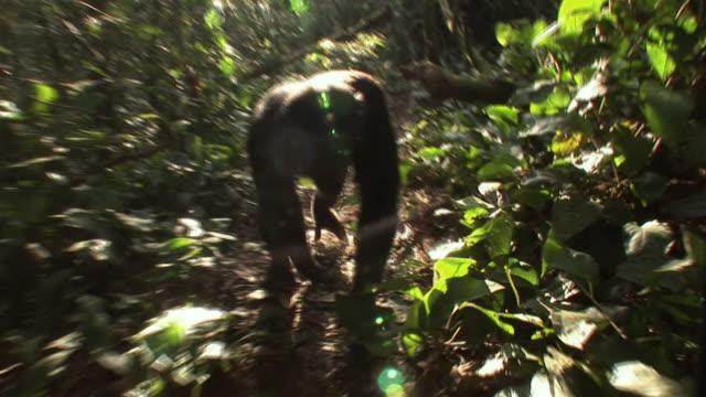MS POV Chimpanzee walking in forest / Ngamba Chimp Sanctuary, Ngamba Island, Uganda
