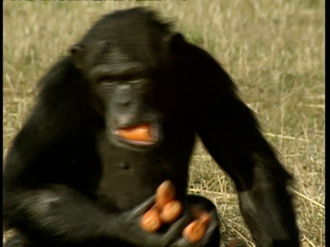 MS Chimpanzee walks off with handful of carrots