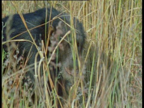 vídeos y material grabado en eventos de stock de chimpanzee walks through long grass, gombe national park, tanzania - parque nacional de gombe stream