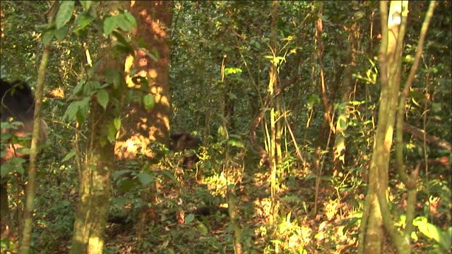 vídeos y material grabado en eventos de stock de chimpanzee with red colobus monkey kill after hunt, kibale, uganda - chimpancé común