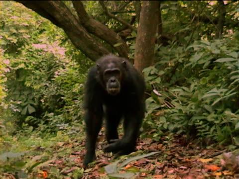 vídeos y material grabado en eventos de stock de ms, td, chimpanzee (pan troglodytes) with young climbing down tree trunk and walking on ground, gombe stream national park, tanzania - parque nacional de gombe stream
