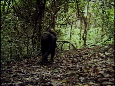 vídeos y material grabado en eventos de stock de ws, ms, chimpanzee (pan troglodytes) with young on back walking through forest, gombe stream national park, tanzania - parque nacional de gombe stream