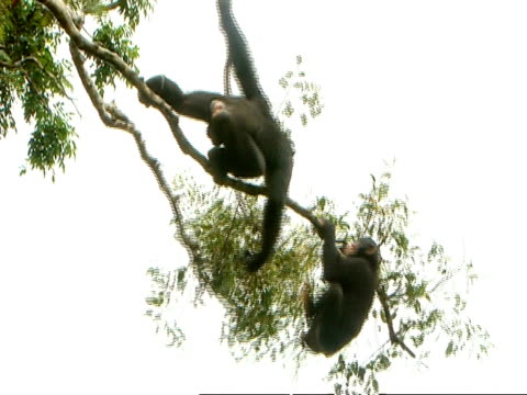 chimpanzees (pan troglodytes) adults fighting, one hangs precariously off the end of a branch, sierra leone - common chimpanzee stock videos & royalty-free footage