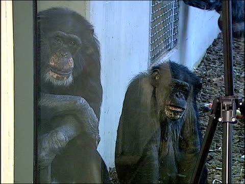 Chimpanzees and gorillas behind glass cages play computer games at Lincoln Park Zoo on Dec 23 2014