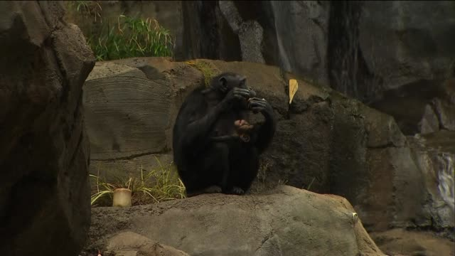 chimpanzees at los angeles zoo on september 10 2013 in los angeles california - 動物園点の映像素材/bロール