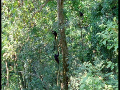 vídeos y material grabado en eventos de stock de chimpanzees climb tree, gombe national park, tanzania - chimpancé común