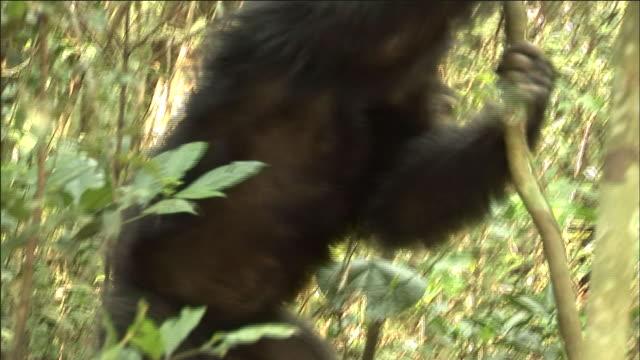 vídeos y material grabado en eventos de stock de chimpanzees crash through forest, kibale, uganda - chimpancé común