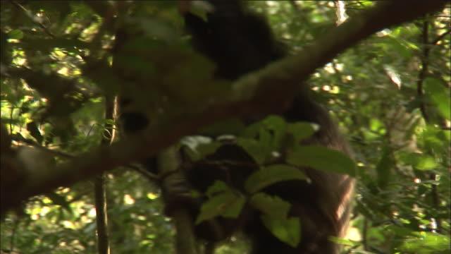 chimpanzees crash through forest on hunt, kibale, uganda - chimpanzee stock videos & royalty-free footage