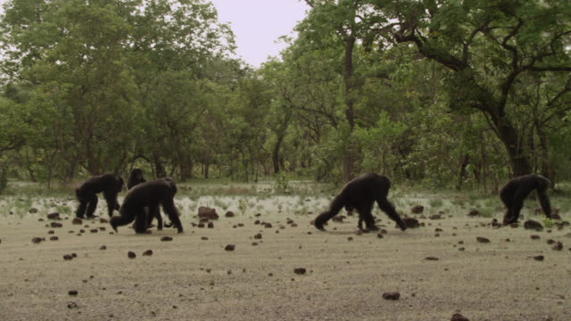 chimpanzees (pan troglodytes) cross forest clearing, senegal - chimpanzee stock videos & royalty-free footage