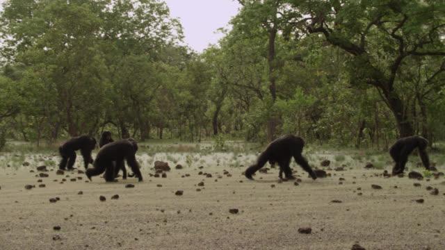 vídeos y material grabado en eventos de stock de chimpanzees (pan troglodytes) cross forest clearing, senegal - chimpancé