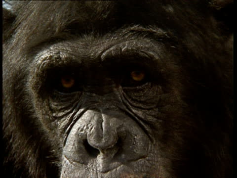 vídeos y material grabado en eventos de stock de bcu chimpanzee's face, to camera - chimpancé común