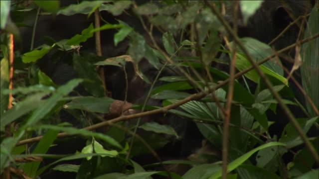 Chimpanzees feed on red colobus monkey kill, Kibale, Uganda