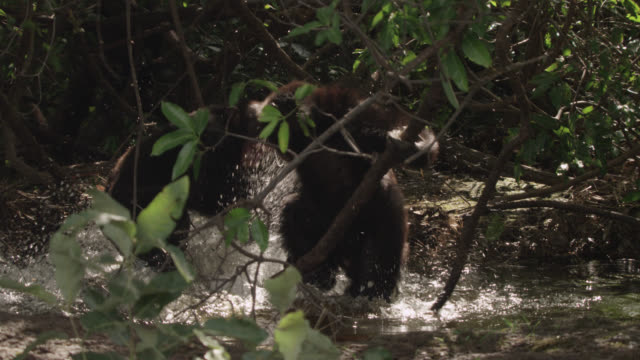 chimpanzees fight in forest pool, senegal - animal stock videos & royalty-free footage