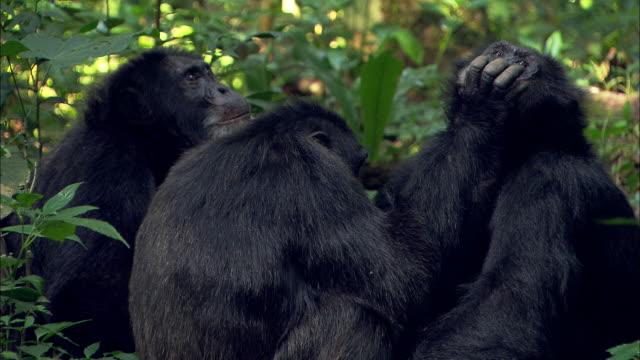 vídeos y material grabado en eventos de stock de chimpanzees groom each other. - acicalarse