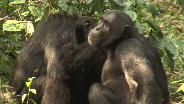 vídeos y material grabado en eventos de stock de chimpanzees groom in forest, kibale, uganda - acicalarse