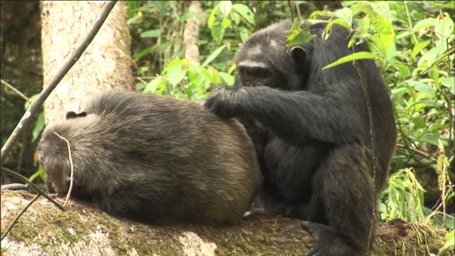 vídeos y material grabado en eventos de stock de chimpanzees groom in forest, kibale, uganda - chimpancé común