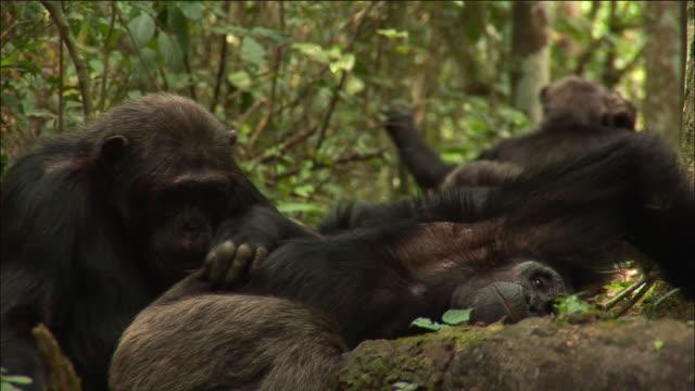 chimpanzees groom in forest, kibale, uganda - common chimpanzee stock videos & royalty-free footage