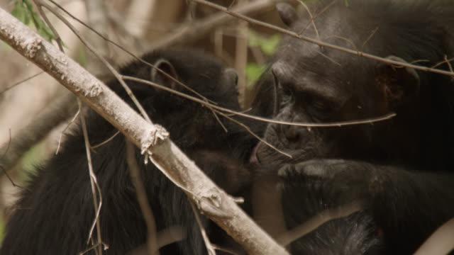 chimpanzees (pan troglodytes) groom in forest, senegal - chimpanzee stock videos & royalty-free footage