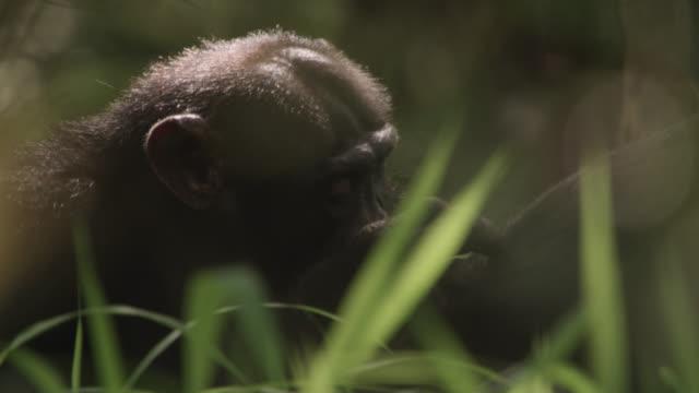 vídeos y material grabado en eventos de stock de chimpanzees (pan troglodytes) groom in forest, senegal - chimpancé común