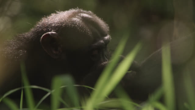 chimpanzees (pan troglodytes) groom in forest, senegal - common chimpanzee stock videos & royalty-free footage