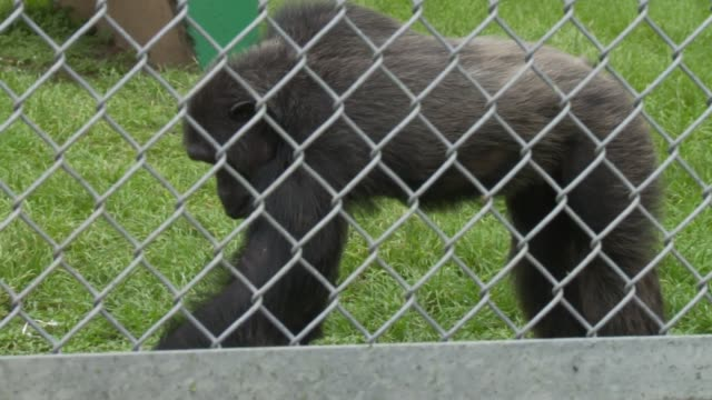 Chimpanzees in fenced paddock eating swinging on tire swing